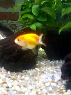 "GILD FISH ""RANCHU"""